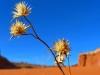 Desert-Flower
