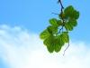 leaves-sky